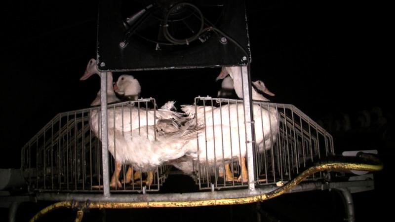 cage-flancs-canards-foie-gras-2008-fr-C.jpg