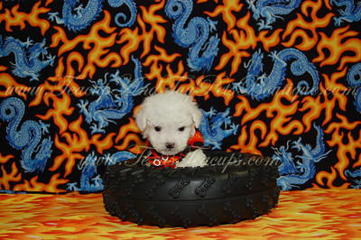 2011 MaltiPoo PUPPIES  Photos & Videos
