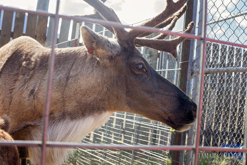 Reindeer Farm2-2.jpg