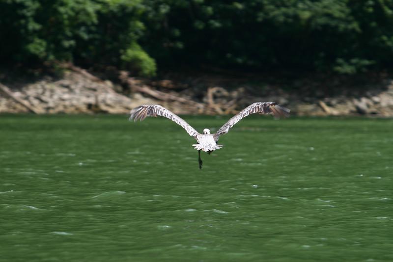 pélican / pelícano / pelican / Pelikan