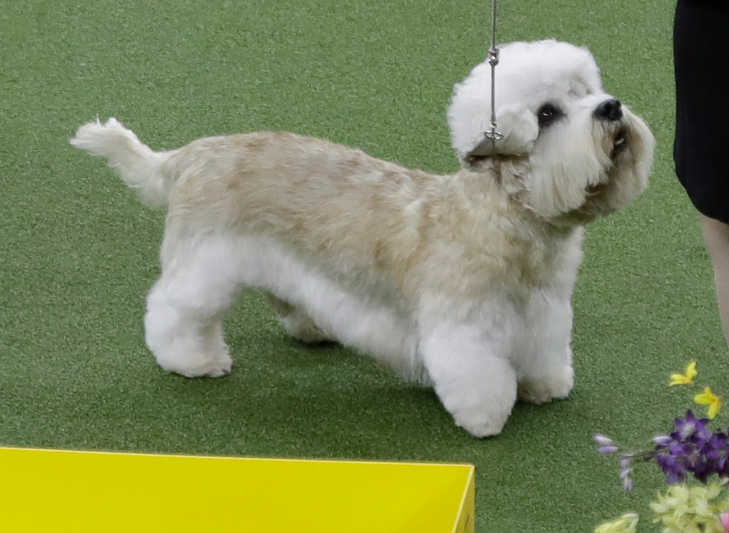 . A Dandie Dinmont terrier competes with the terrier group during the 141st Westminster Kennel Club Dog Show on Tuesday, Feb. 14, 2017, in New York. (AP Photo/Frank Franklin II)