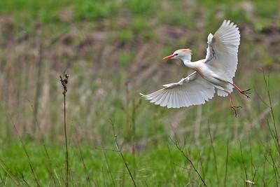 Cattle Egret - Morton Arboretum
