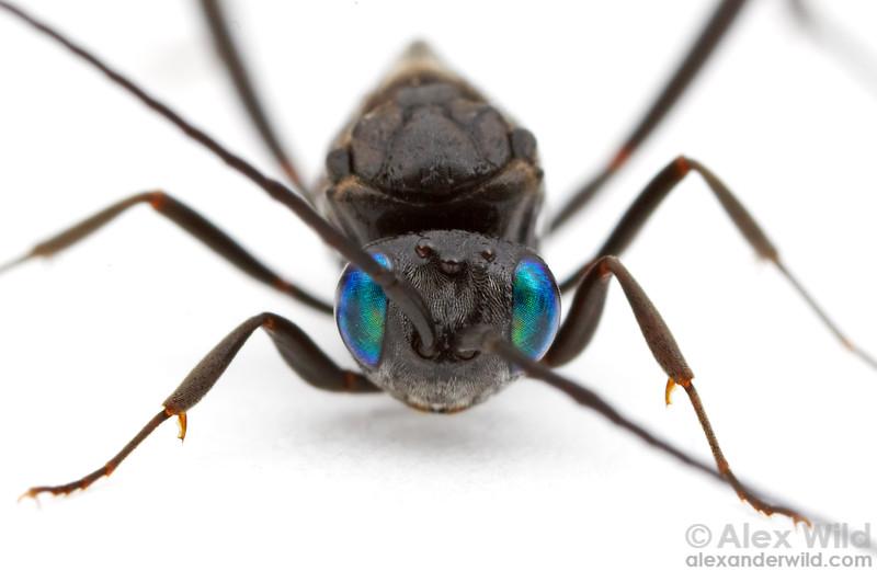Evania appendigaster