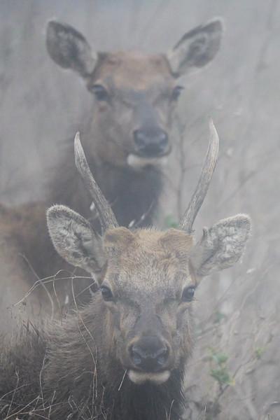 Tule Elk in Heavy Fog
