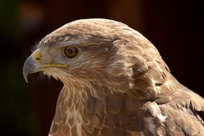 Birds of prey, Cerveny Kamen (Red Stone), SK