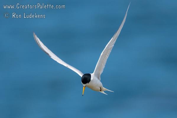 Least Tern (Sternula antillarum)