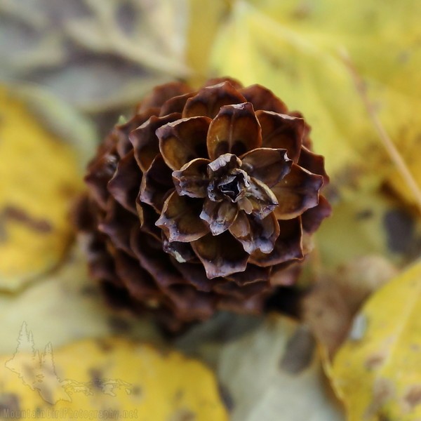 Autumn Pinecone