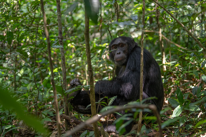 Uganda_T_Chimps-466.jpg