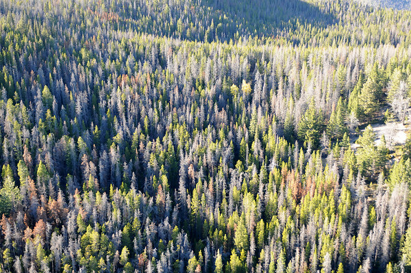 Montana Forests Aerial View of Beetle Killing of Trees