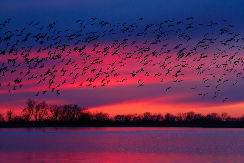 7.  Final Flight  After spending the day watching the epic convergence of 1.2 million snow geese at Squaw Creek National Wildlife Refuge, by sunset only a few stragglers remained as most had already gone out to feed.  The sun set with some mind-blowing color and I captured a few hundred of the geese as they took off for the night.  Definitely a perfect day!  (Well, besides my battery not starting on my car and nearly getting stranded inside the refuge of course)