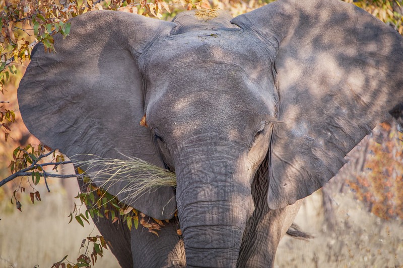 Elephant Eating in Etosha