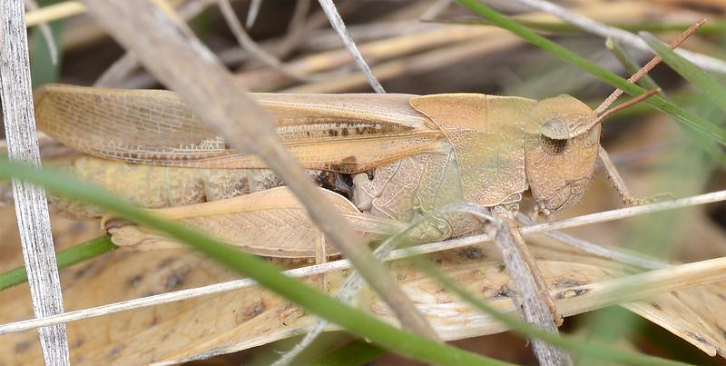 Chortophaga viridifasciata (Green-striped Grasshopper)