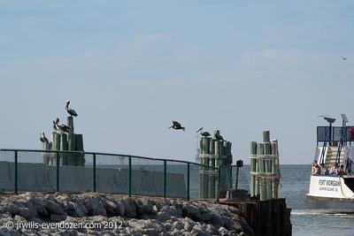 Pelicans-Mobile Bay
