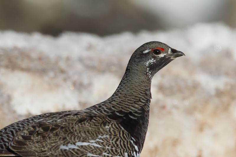 Spurce Grouse - Female - Hwy 2, Near Two Harbors, MN, USA