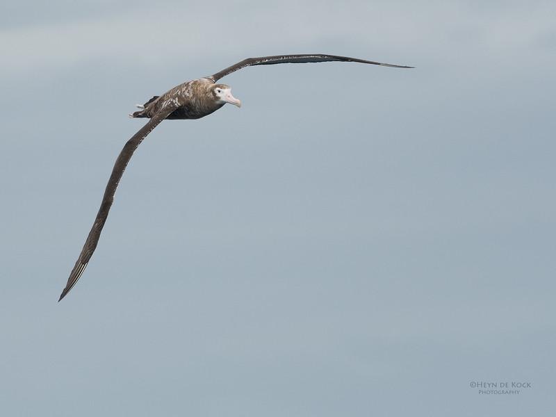 Wandering Albatross, Eaglehawk Neck Pelagic, TAS, Sept 2016-8.jpg