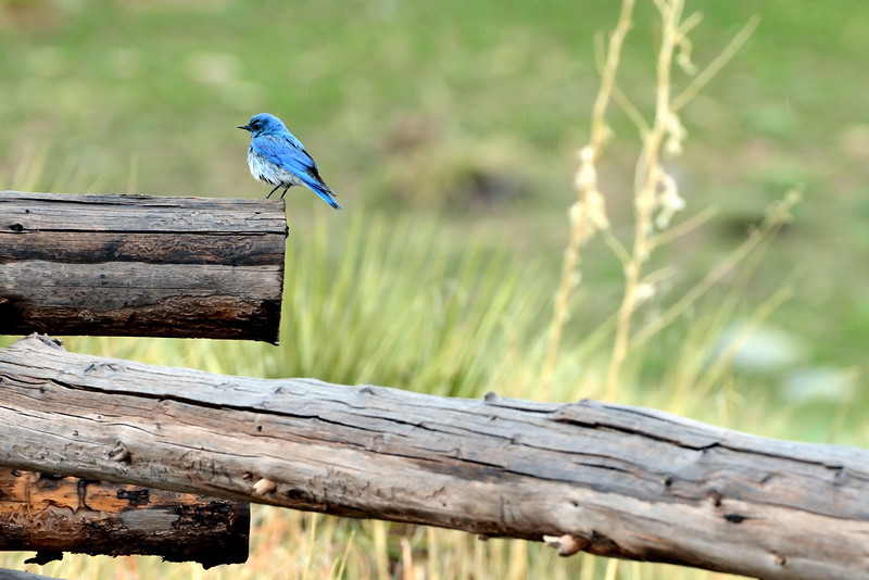 Blue Bird at Rabbit Mountain.JPG