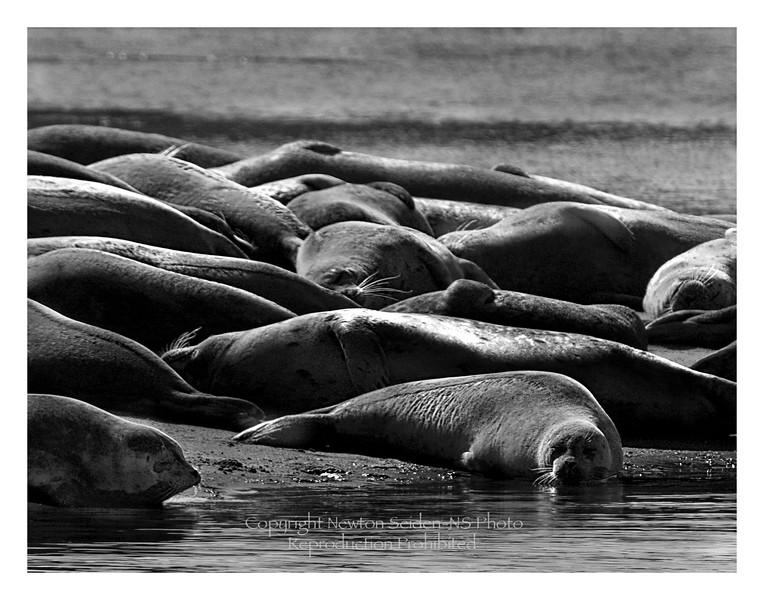Harbor Seals Moss Landing, California