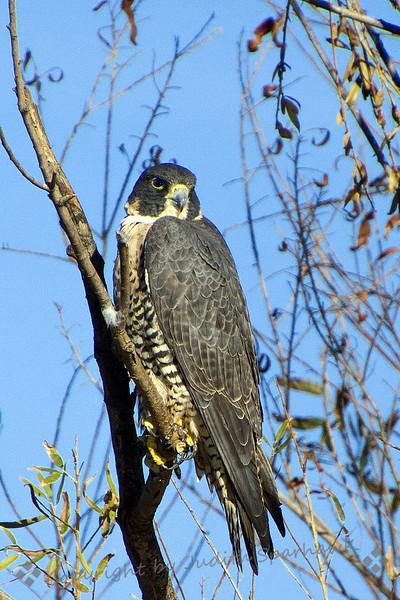 Peregrine Falcon - Judith Sparhawk