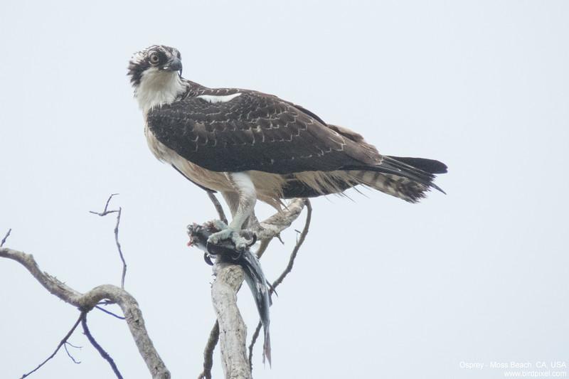 Osprey - Moss Beach, CA, USA