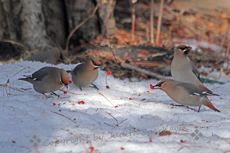 Bohemian Friends ~ These Bohemian Waxwings were foraging on berries that had fallen into the snow below the trees.  They were photographed in Edmonton, Alberta, Canada, this week in March.