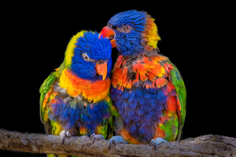 A rainbow lorikeet couple cuddling each other