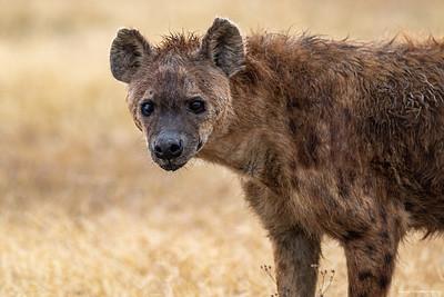 Flekkhyene (Spotted hyena)