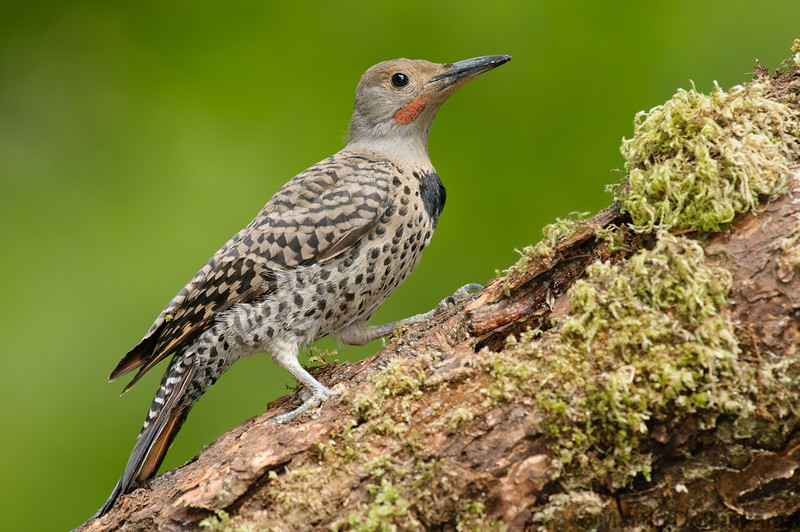 Northern Flicker, juvenile male. You can see by the feathers that this is a young bird.