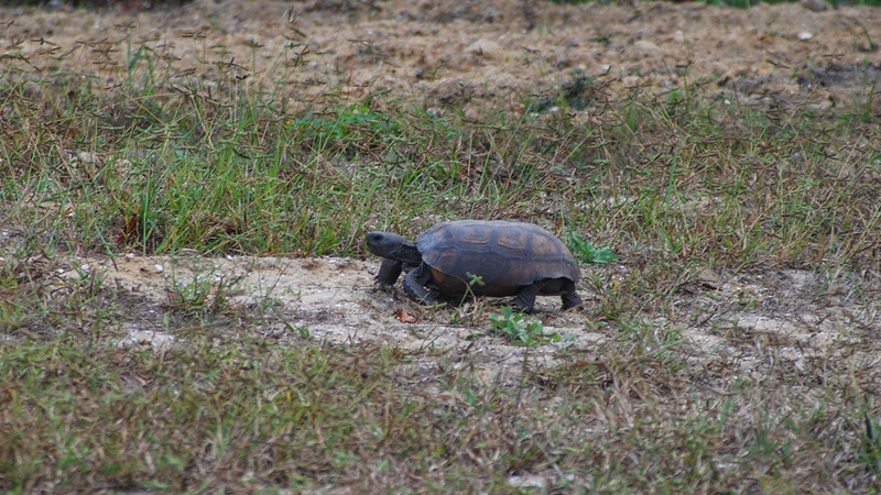 Tippecanoe gopher tortoise