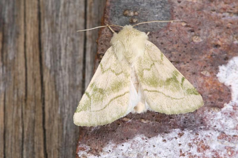 Elder Moth