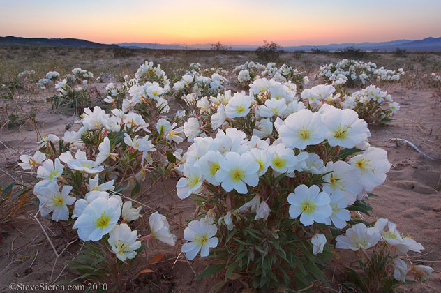 Primrose Sunset