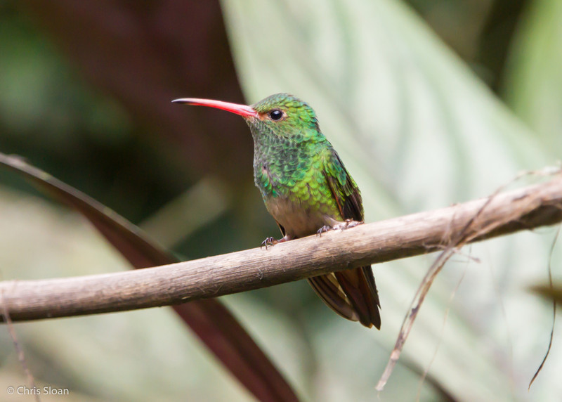 Rufous-tailed Hummingbird at Alambi, Ecuador (03-03-2014) 024-94.jpg