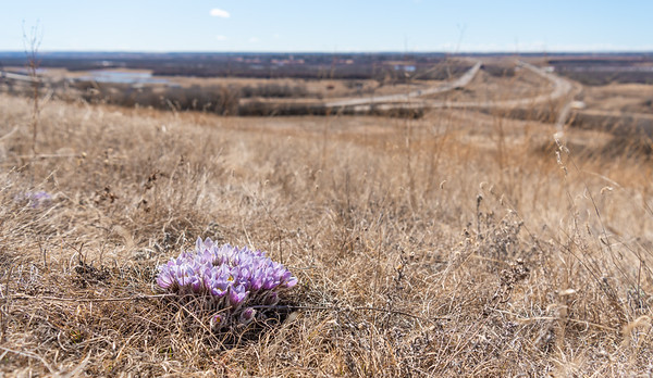 Wild Prairie Crocus