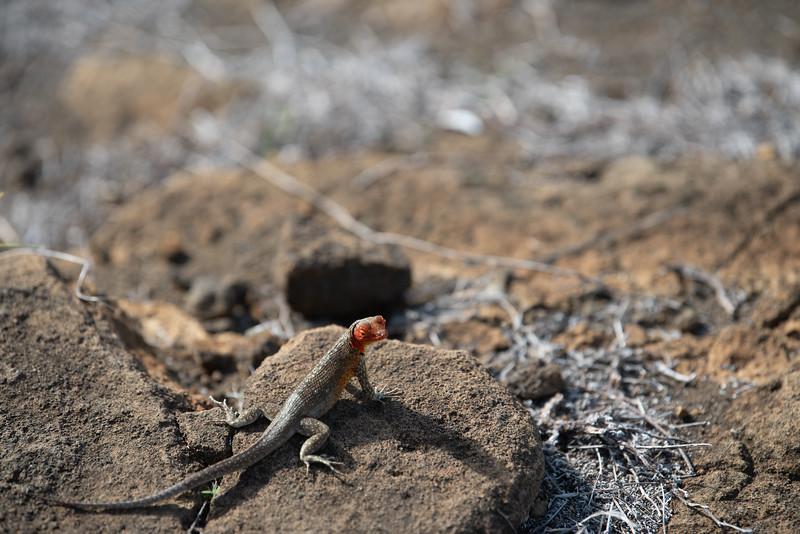 lava lizard (female)