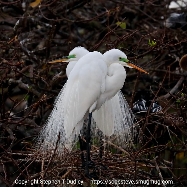 pair of great egrets, first light 2