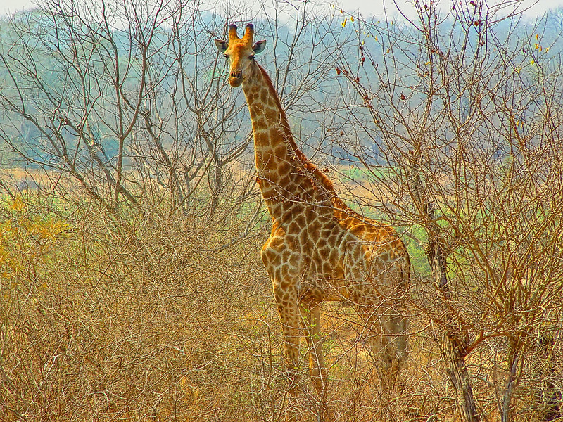 Magnificent giraffe