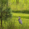 GreatBlueHeron-003