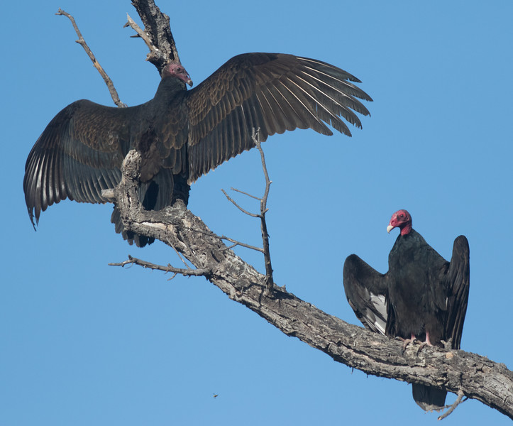 Turkey Vulture Camp Pendleton 2017 11 19-4.CR2
