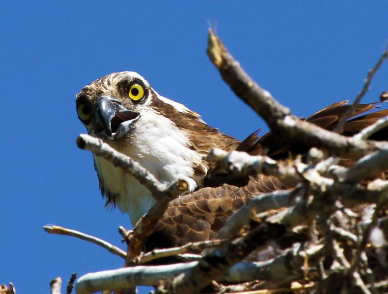angryosprey.jpg