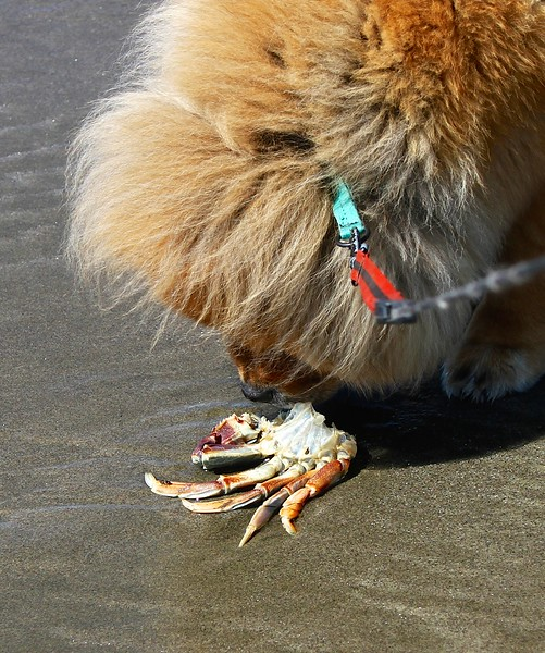 Lil found what she wanted for lunch. This beach had crab shells in all sizes everywhere