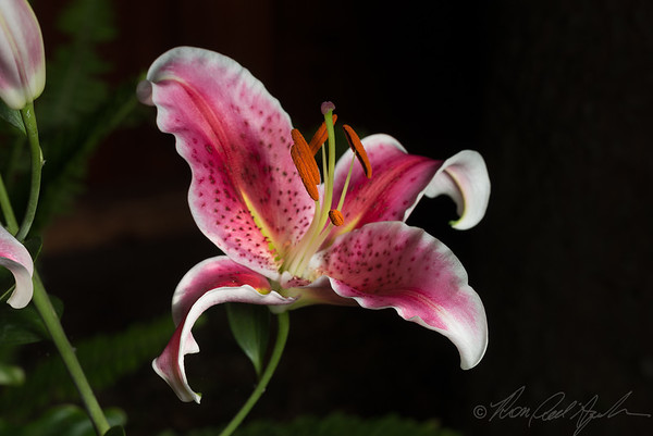 Lillies, backyard