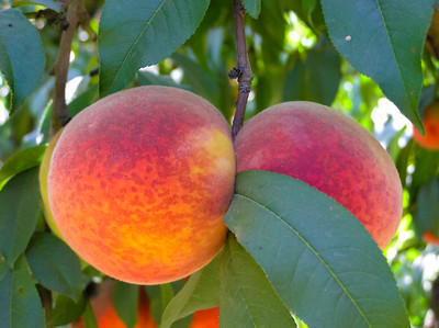 Redskin Peach - Prunus persica sp.
