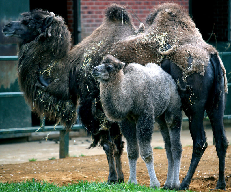 . Baby Bactrian camel, Genghis, right, stands with his mother, Edina, at Twycross Zoo, Atherstone, England. There are less than a thousand  Bactrian camel, which are native to the steppes of eastern Asia, left in the wild. The Bactrian camel has two hums on its back, in contrast to the dromedary, also known as the Arabian Camel, which has one. (AP Photo/Simon Dawson)