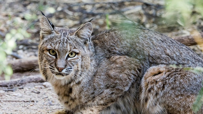 Bobcat 0302.jpg