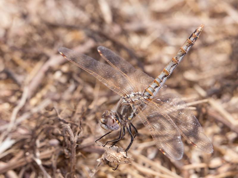 Variegated Meadowhawk - Sympetrum corruptum - (F)