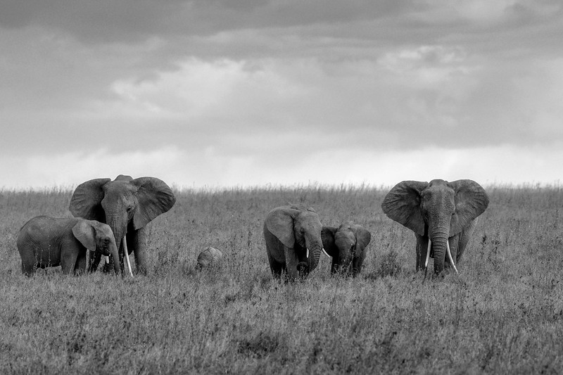 Elephant-family-moment-monochrome-1.jpg