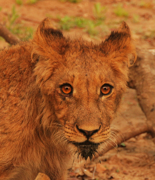 LION CUB MUDDY BEARD.jpg