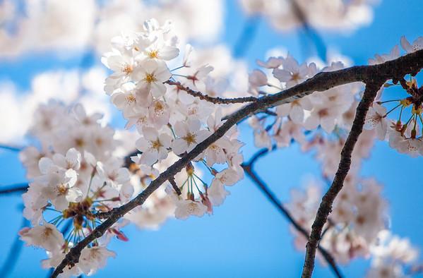 Cherry Blossoms Festival - DC 2016