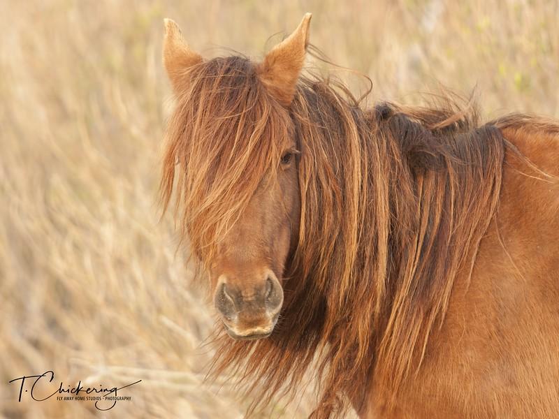 Chincoteague Pony Bad Hair Day-1517964397666.jpg