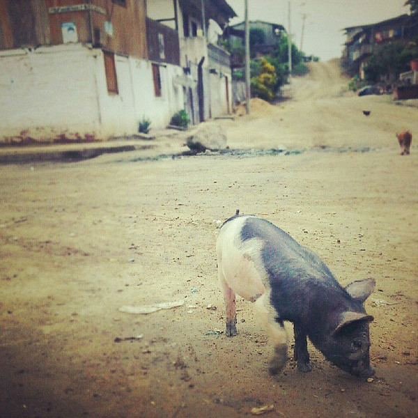 Is_it_wrong_that_I_m_not_conflicted_about_simultaneously_thinking_this_little_piggy_is_so_cute_and_he_ll_be_so_delicious_some_day..jpg