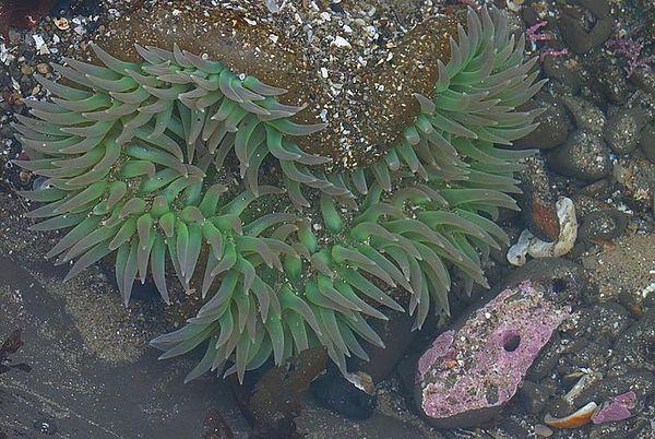 Sea anemone at low tide, Scotts Creek State Beach, California.